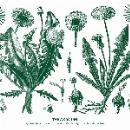 walter maioli & agostino nirodh fortini  - taraxacum